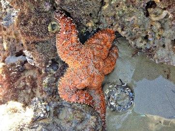 sunday starfish (8)