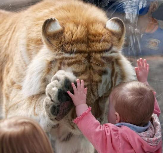 Taj Golden Bengal Tiger