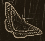 tatoo moth